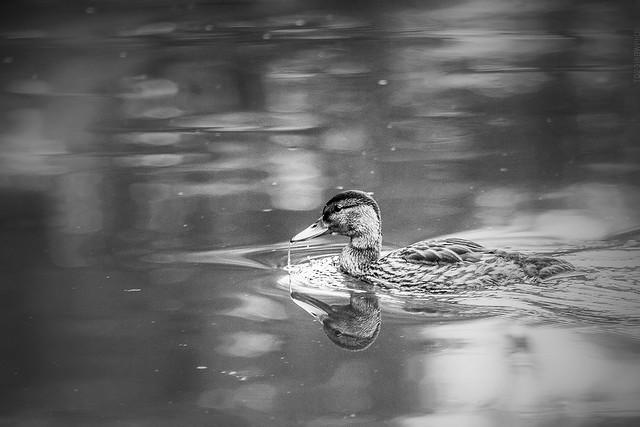 2018.11.24_328/365 - duck