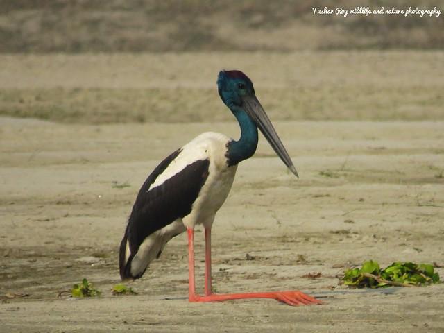 Black necked stork, Canon POWERSHOT SX540 HS