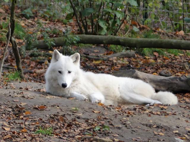 Hudson-Bay-Wolf, Zoo Osnabrück