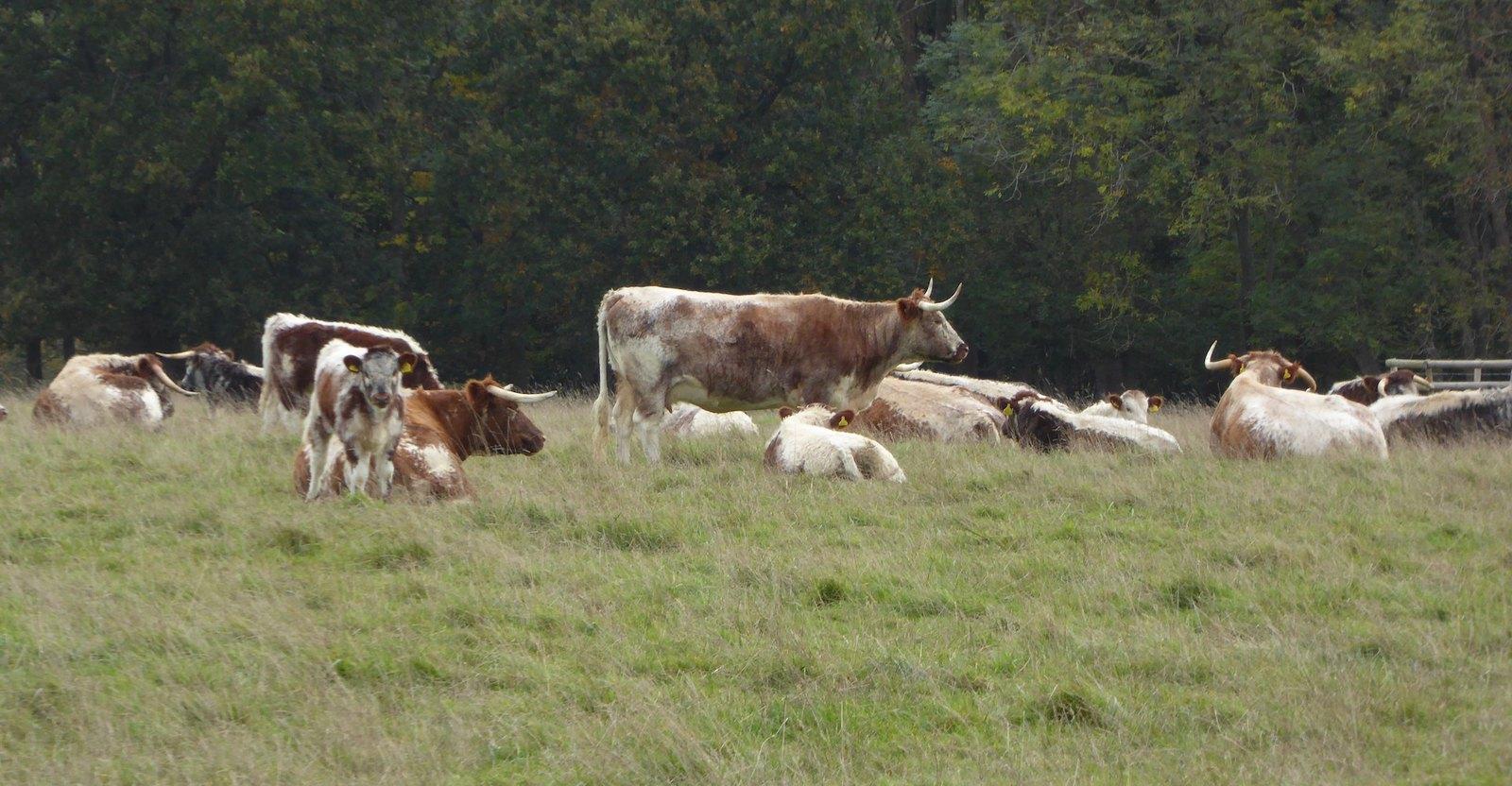 Longhorn cattle, Knepp Wildlands walkicon