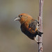 IMG_0564. CROSSBILL  Loxia curvirostra by Mike Gould's Wildlife