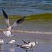 2018.09.08 Anastasia State Park Tern Landing
