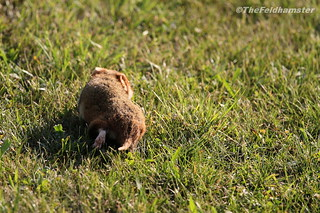Young hamster on the grass
