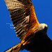 Red Kite fly by – IMG_4645-pcp