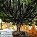 Tree in front of Templo de la Purísima Concepción por jon5cents ( 5centsphotos.com )
