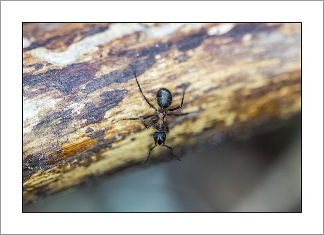 Une fourmi sur la défensive!