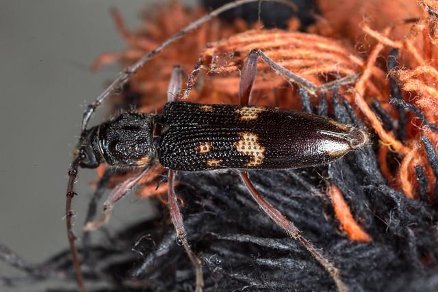 Phoracantha punctatus