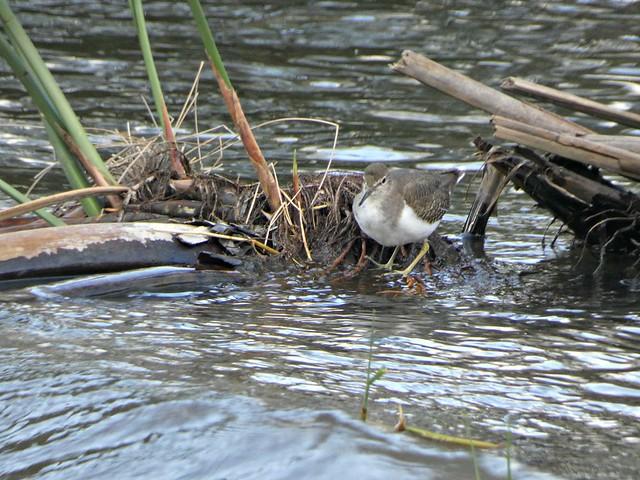 Photo:Common sandpiper - Actitis hypoleucos By Linda DV (away)