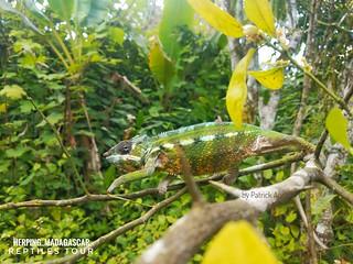 Panther chameleon (Furcifer pardalis) - 20180919_094018-01