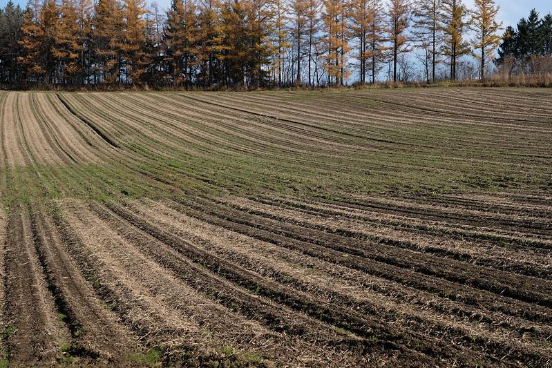 秋の美瑛の畑