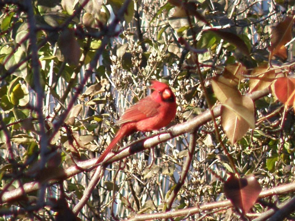 PB128078......Northern Cardinal / MO