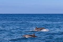 Spinner dolphins Kauai, Hawaii