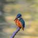 Kingfisher 1811171175.jpg
