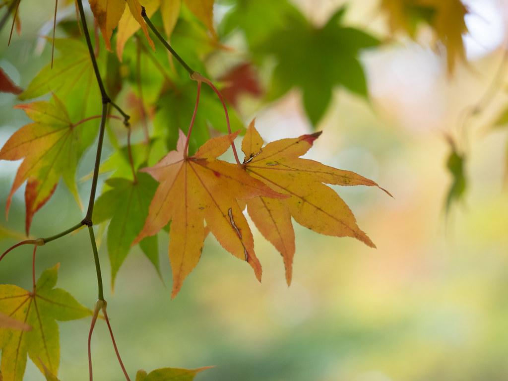 Acer Palmatum Seigai Wundoroo Flickr