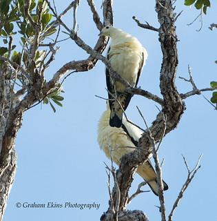 Torresian Imperial Pigeon, Ducula spilorrhoa