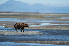 Wounded injured Alaskan Coastal Brown Bear grizzly searches for fish in a river in Katmai National Park
