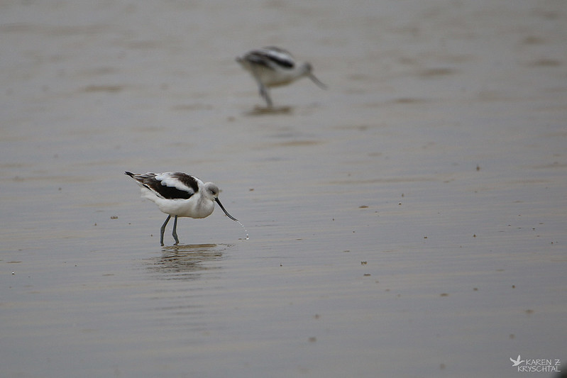 IMG_7583AmericanAvocets
