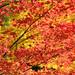 Autumn Color at Seiryuji Temple 2018 by tomosang R32m