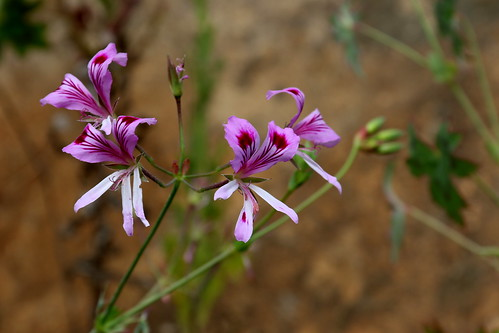 Pelargonium grandiflorum in habitat