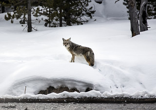 A lone and lean coyote makes the best of wintertime in the northernmost Wyoming reaches of Yellowstone National Park. Original image from Carol M. Highsmith's America, Library of Congress collection. Digitally enhanced by rawpixel.