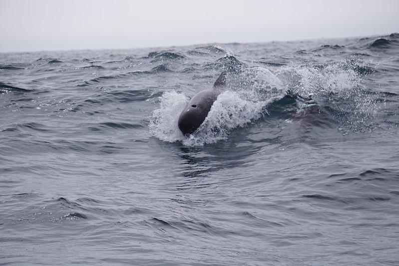 Atlantic Pilot Whale