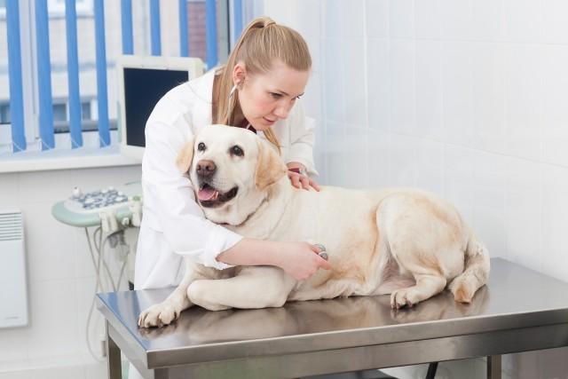 膀胱炎の診断のために病院に行く犬