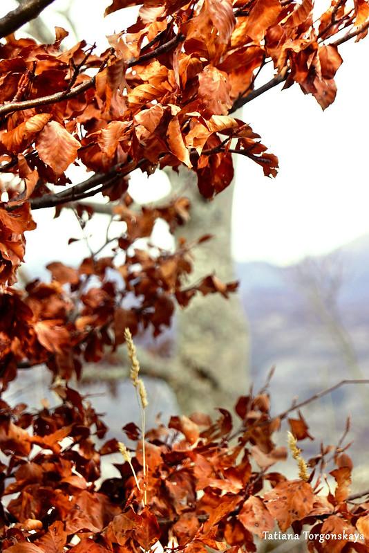 Ветка бука с высохшими листьями