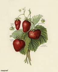 The fruit grower's guide : Vintage illustration of strawberries