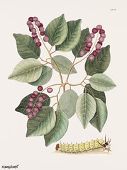 Pigeon-Plum (Cerasus) and Great horned Caterpillar (Eruca maxima cornuta) from The natural history of Carolina, Florida, and the Bahama Islands (1754) by Mark Catesby (1683-1749).