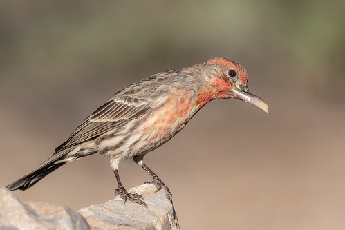 rock landscape sigma canon ngc tucson 5dmarkiv animal 150x600 macro housefinch beak bokeh bird naturetop wildlife arizona eos flickr finch detail