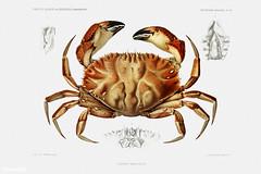Dungeness crab vintage poster