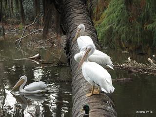 Cuatro Pelícanos Blancos