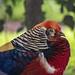 golden pheasant por ikarusmedia