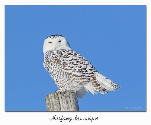 Harfang des neiges / Snowy Owl  153A5102