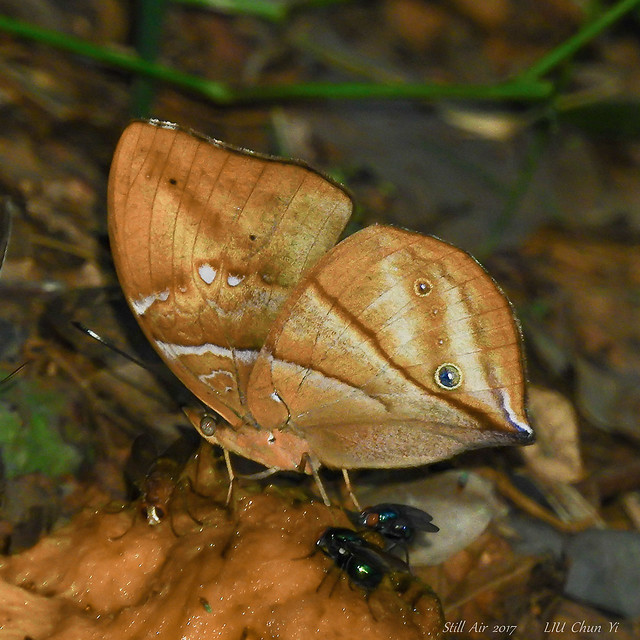 Kallimoides rumia African Leaf, Nikon COOLPIX P610