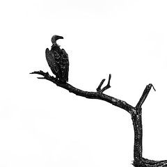 Vulture on Tree branch