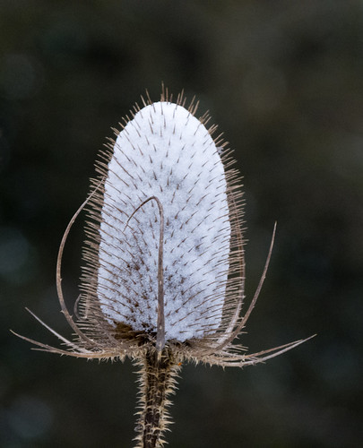 Winter: teazle seed head