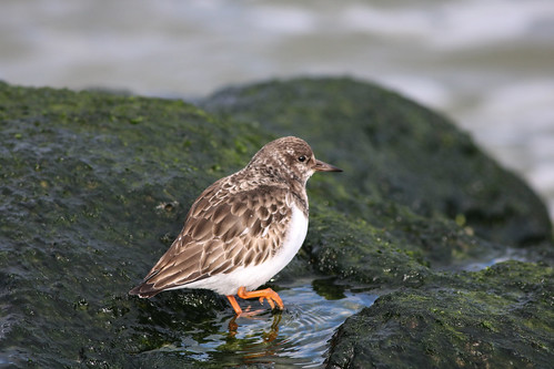 Ruddy Turnstone Stepping in Water