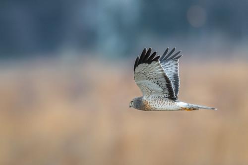 grasslands northernharrier wildlife flight greyghost nature bird harrier polefarm birdsofprey fly raptor birdsinflight mercermeadows nikon d500