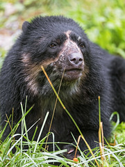 Close spectacled bear