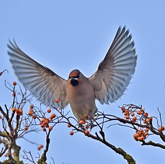 Waxwing 1a