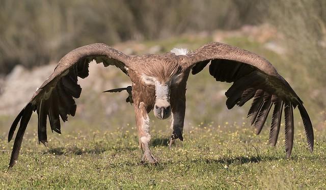 MRC_0577 Griffon Vulture (Explored), Nikon D500, AF-S VR Zoom-Nikkor 200-400mm f/4G IF-ED