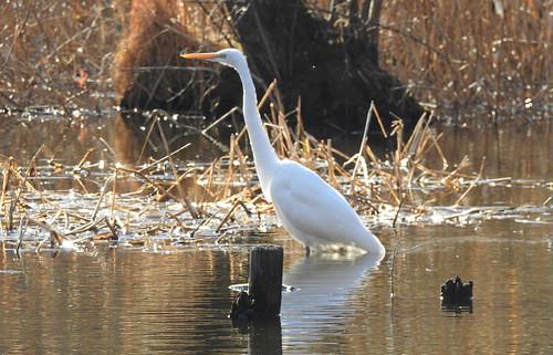 石神井公園の野鳥~ダイサギの場所