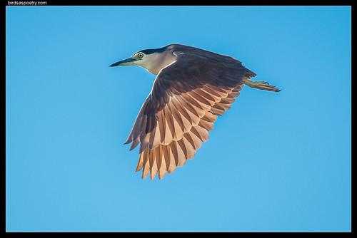 Nankeen Night Heron—Decked in Early Morning Light