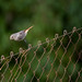 Colirrojo tizón (Phoenicurus ochruros) / Black redstart