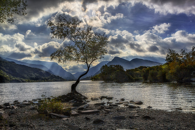 The Lonely Tree-Llyn Padarn