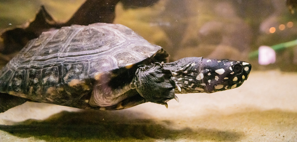 Black Spotted Turtle_4