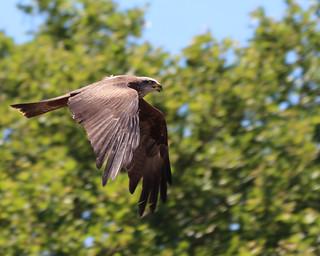 Black kite 22