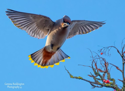 "Waxwing landing ""where are the berries """