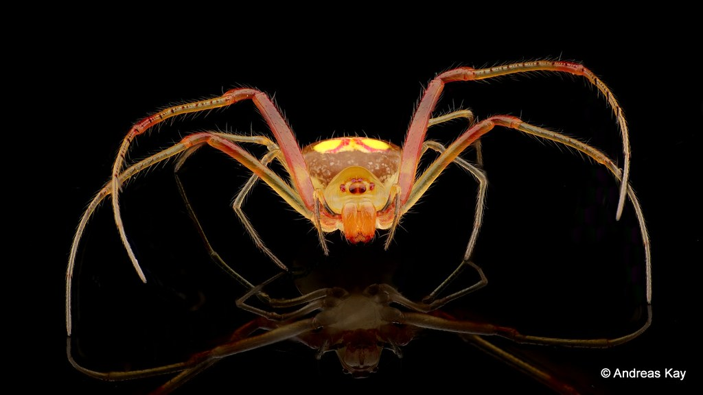 Pretty little Pirate Spider, Gelanor sp., Mimetidae
